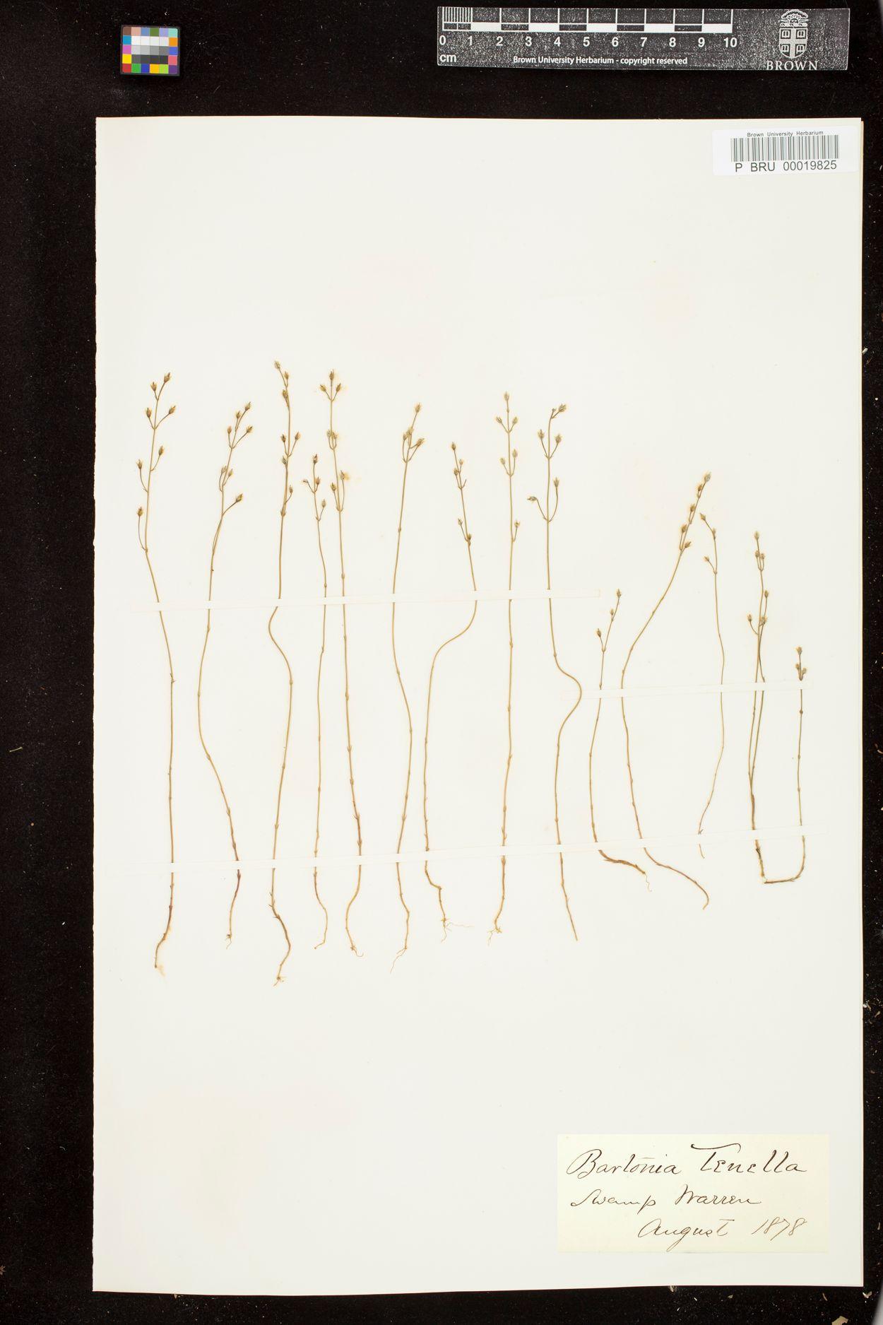 Bartonia tenella image