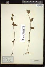 Halenia deflexa image