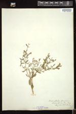 Image of Dracocephalum peregrinum