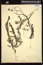 Utricularia inflata image