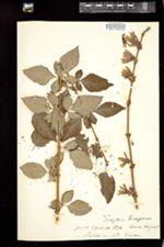 Forsythia suspensa image