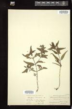 Melampyrum americanum image