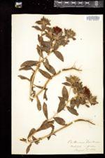Carthamus tinctorius image