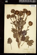 Image of Callistephus chinensis