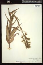 Lactuca integrifolia image