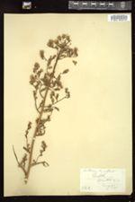 Image of Lactuca leucophaea