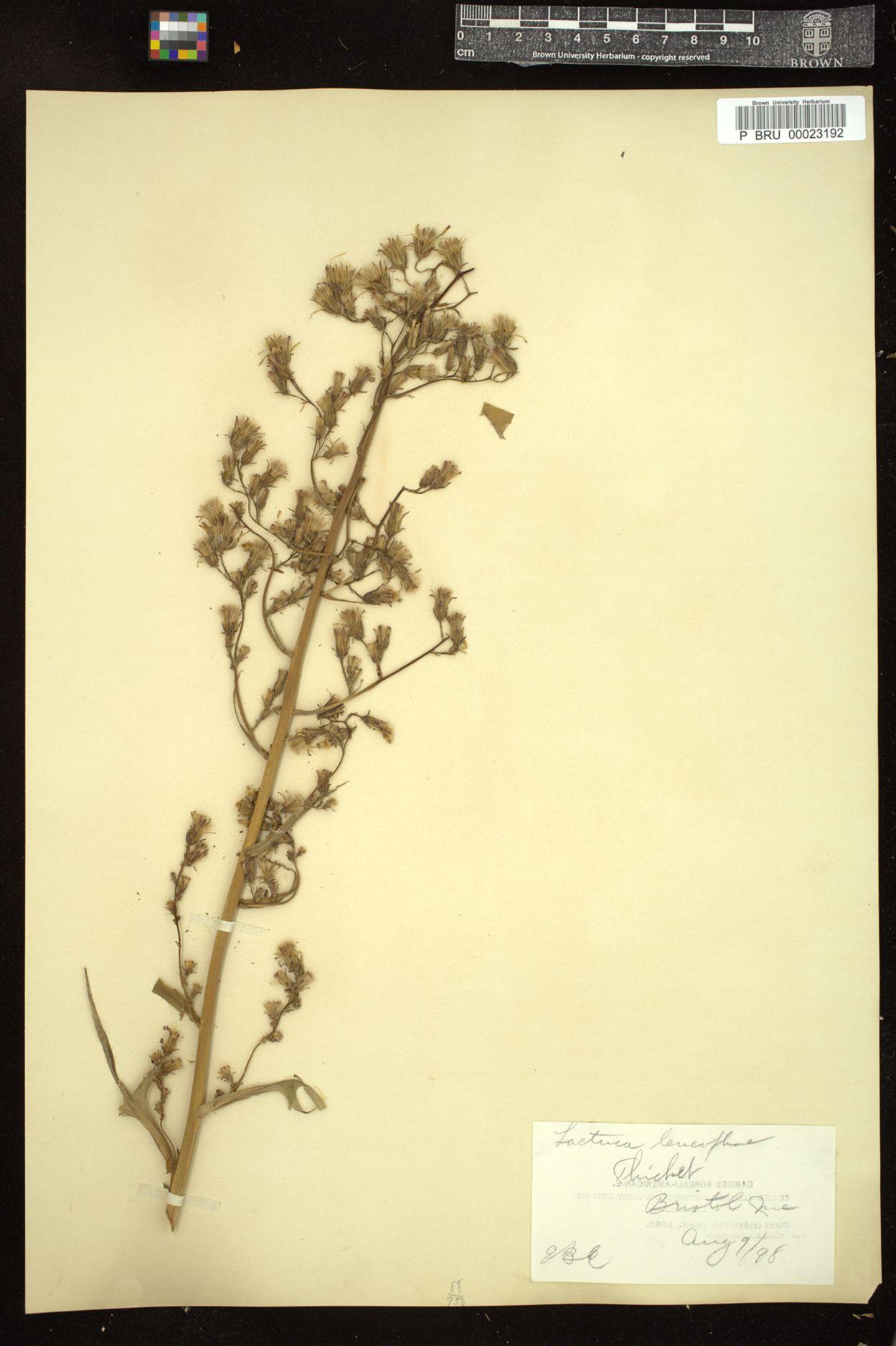 Lactuca leucophaea image