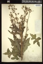 Image of Lactuca morsii
