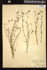 Image of Schkuhria schkuhrioides