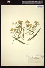 Image of Euthamia nuttallii