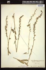 Image of Lobelia stricta