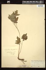 Osmorhiza aristata var. brevistylis image