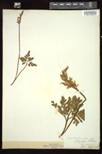 Image of Botrychium ternatum var. obliquum