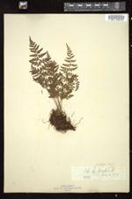 Cystopteris fragilis image