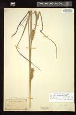 Image of Carex bella-villa