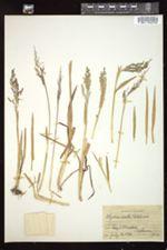 Torreyochloa erecta image