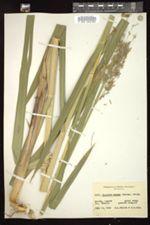 Glyceria maxima image