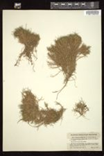 Image of Panicum koolauense