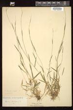 Dichanthelium dichotomum var. dichotomum image