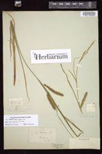 Carex monile image