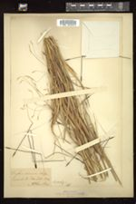 Image of Parahyparrhenia annua