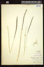 Sporobolus elongatus image