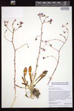Image of Lewisia congdonii