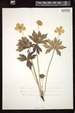 Anemone dichotoma image