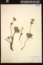 Image of Anemone zephyra