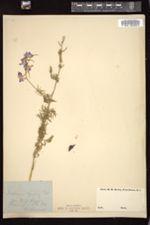 Image of Delphinium azureum