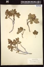 Image of Ribes erythrocarpum