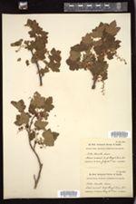 Ribes howellii image