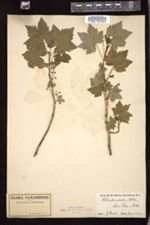 Ribes prostratum image
