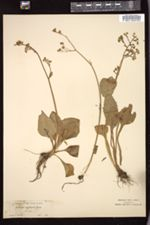 Image of Micranthes integrifolia