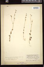 Suksdorfia violacea image