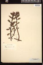 Image of Bergia capensis
