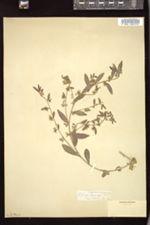 Ditaxis serrata image