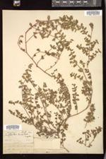 Euphorbia humistrata image