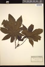 Ricinus communis image