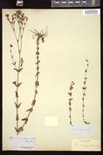 Hypericum gymnanthum image