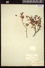 Hypericum buckleii image