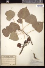 Image of Populus angulata