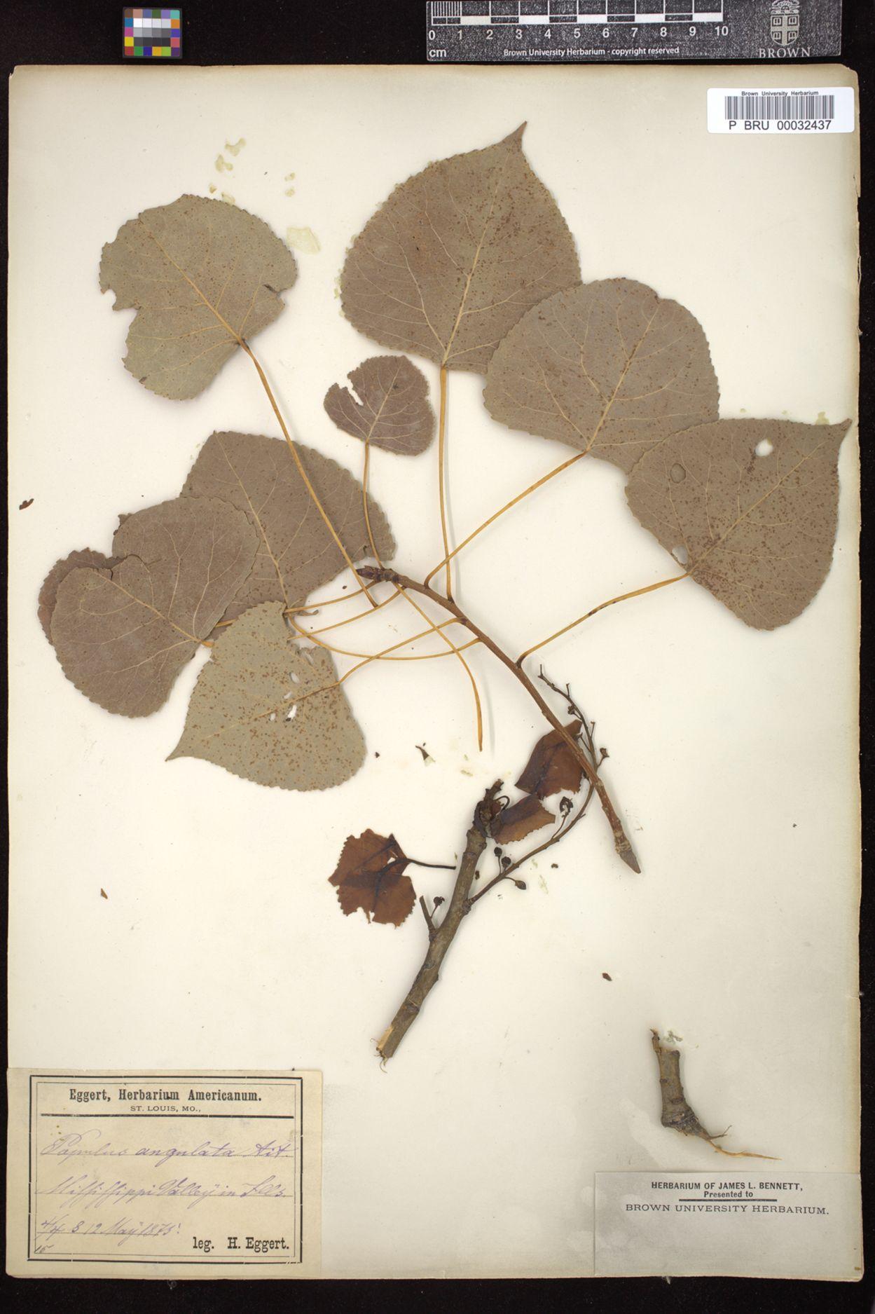 Populus angulata image