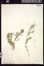 Hybanthus verticillatus image