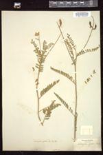 Image of Oxytropis glabra