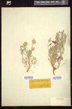 Astragalus lotiflorus image