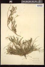 Image of Astragalus misellus