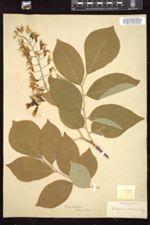 Cladrastis tinctoria image
