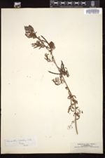 Desmanthus leptolobus image
