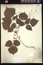 Desmodium acuminatum image